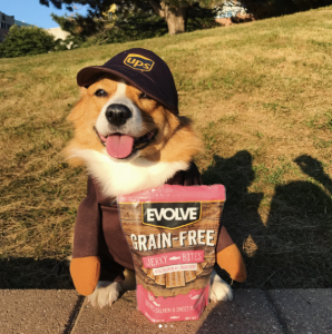 Ruby the Corgi posing with Evolve Pet Food