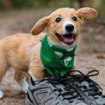 Fred the Corgi modeling for a Camping With Dogs giveaway.