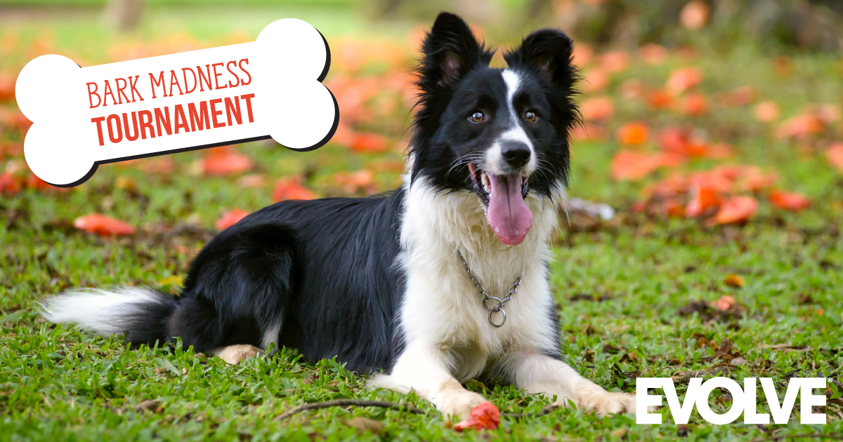 "A black and white border collie laying down in the grass with ""Bark Madness Tournament"" graphic overlaid."