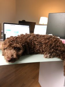 A dog relaxing on a work desk