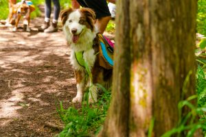 Defining a Brand: Australian Shepard dog hiking with backpack